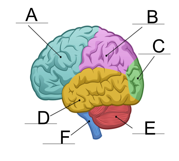 Label Each Part of the Brain   MS in African Americans ...